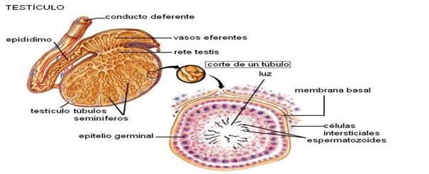 SISTEMA REPRODUCTOR, 5 SENTIDOS Y SST...: Sistema Reproductor Masculino
