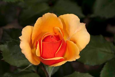 Trandafir de gradina in doua culori