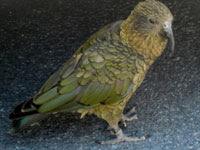 burung kea