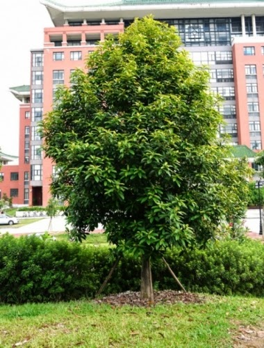 Cây gỗ quý vàng tâm sẽ được trồng ở nhiều tuyến phố Hà Nội