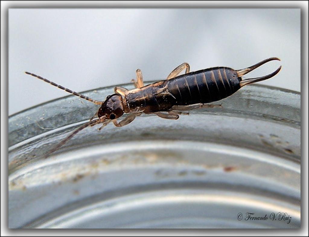Insectos de La Rioja: Forficula auricularia.