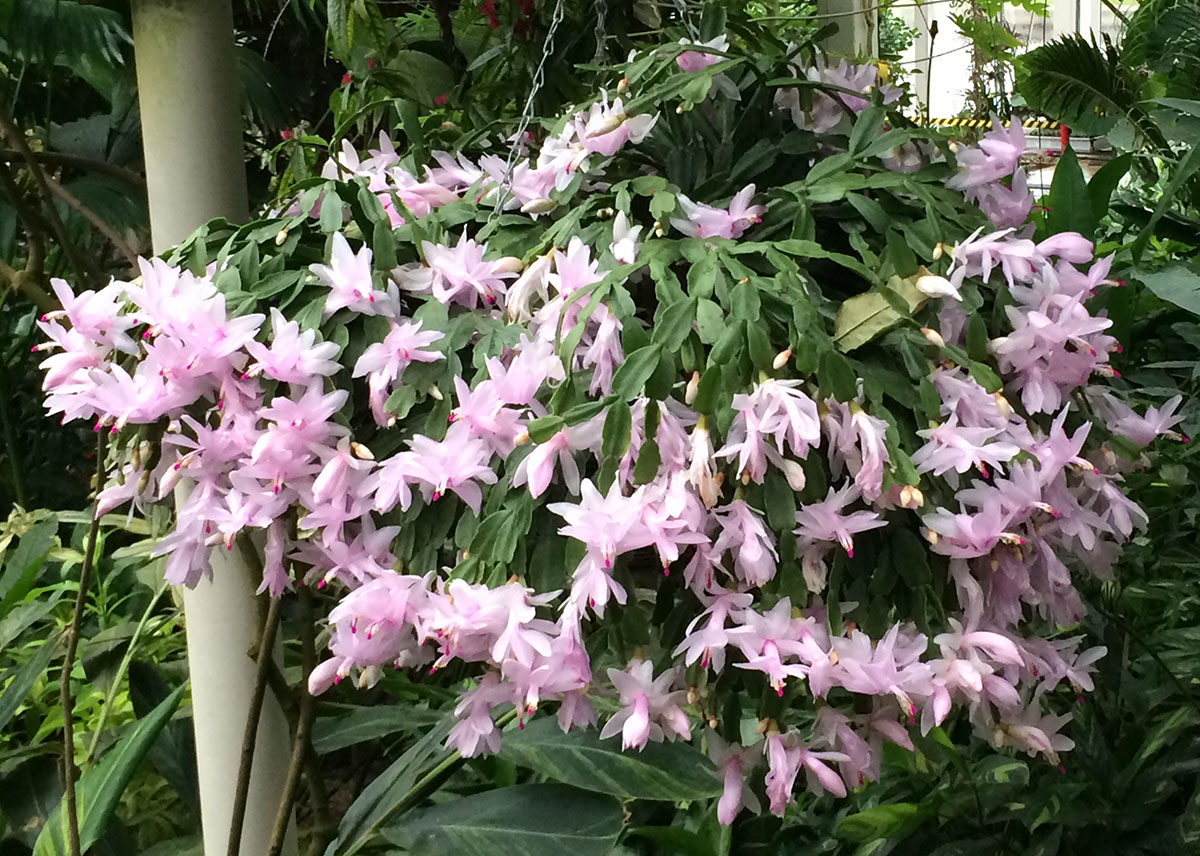 Schlumbergera hybrid, RHS garden, Wisley.  3 December 2013.