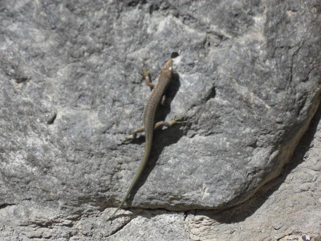 Kale efradından bir kertenkele