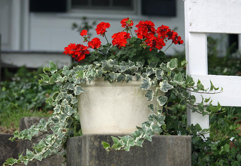 Geraniums and Ivy