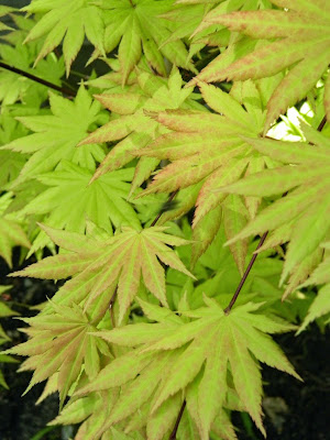 Acer shirasawanum Aureum Fullmoon Maple by garden muses-not another Toronto gardening blog