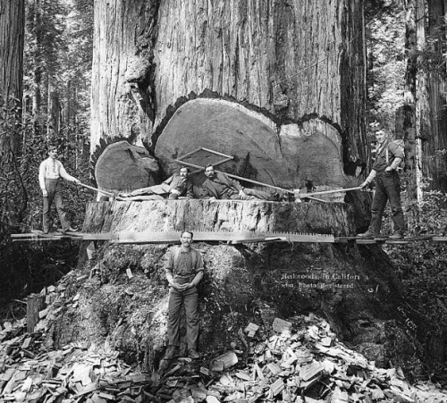 Tala de árboles gigantes