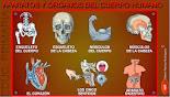 - Repàs tema 3: ossos i músculs