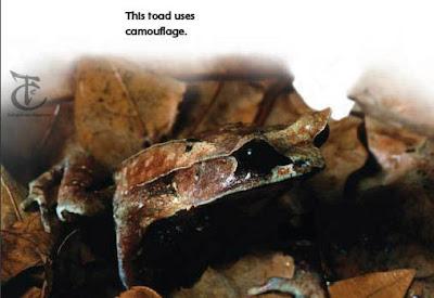 toad camuflage