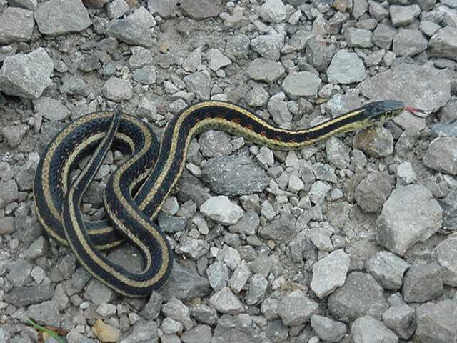 snakes red sided garter snake