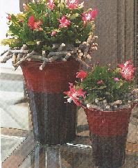 vivre feng shui bordeaux feng shui composition faire soi m me le schlumbergera ou cactus. Black Bedroom Furniture Sets. Home Design Ideas