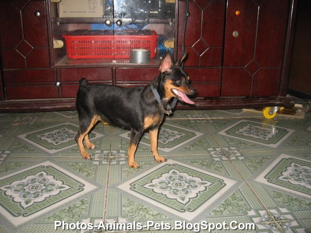 Miniature pinscher dogs