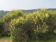 Ginestes florides envolten les runes