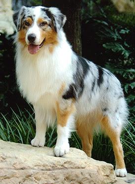 Labels: Carnivore » Dog » Endangered » Mammal
