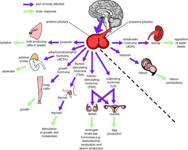 Hormones function in human body