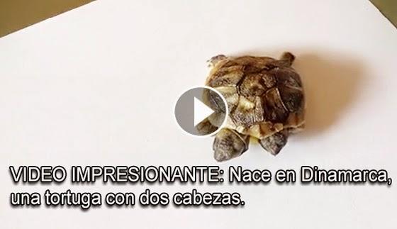 VIDEO IMPRESINANTE - Nace una tortuga de dos cabezas en Dinamarca
