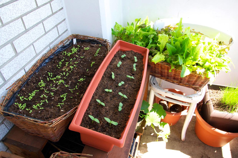 Выращивание огурцов на балконе. великолепная идея для всех! .
