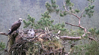 Male and female ospreys on the nest