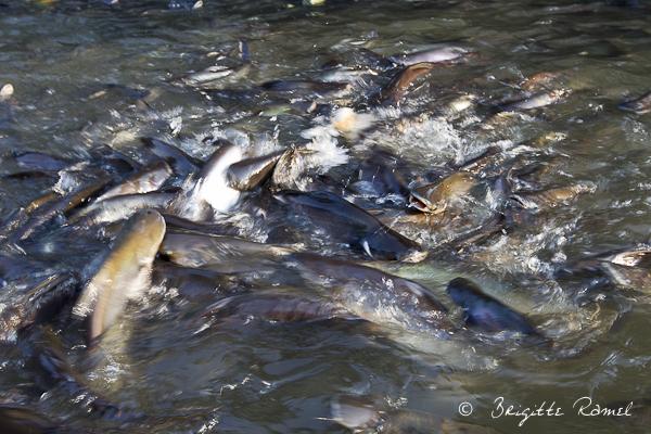 La Thailande et l'eau, les poissons chats
