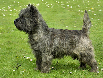 Cool Cairn Terrier Ball Adorable Dog - Cairn_Terrier  Best Photo Reference_4510076  .jpg
