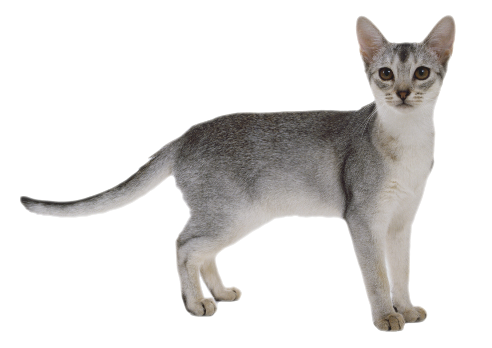 ΓΑΤΑ ΓΚΡΙ - FORMAT PNG TRANSPARENT ( CAT ) | Find images