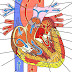 Heart - Structure Of The Human Heart