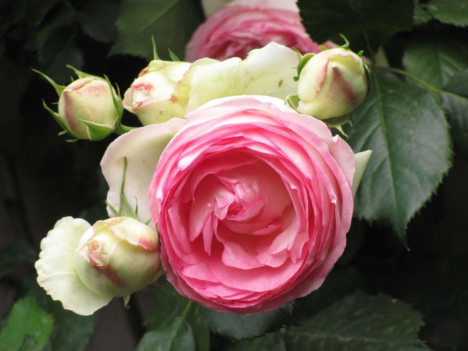 En el jardin tres rosas trepadoras for Pierre de ronsard rosa