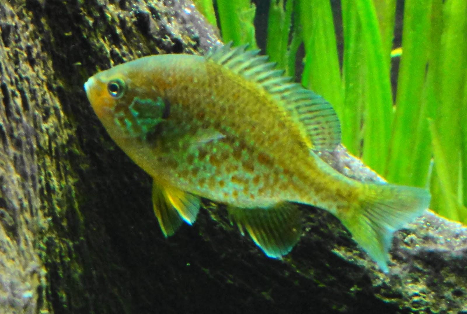 Peces y plantas ornamentales lepomis gibbosus perca sol for Estanques de peces ornamentales