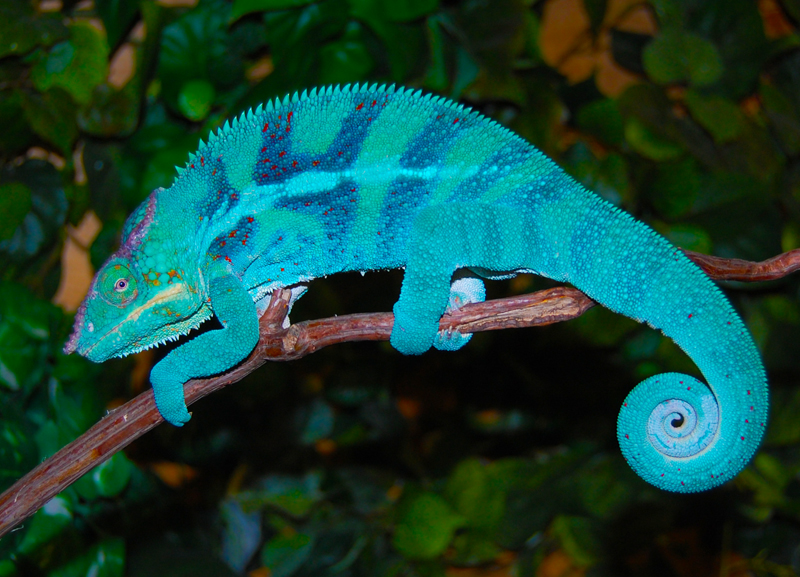 There are lots of reasons chameleons change colors they can t turn