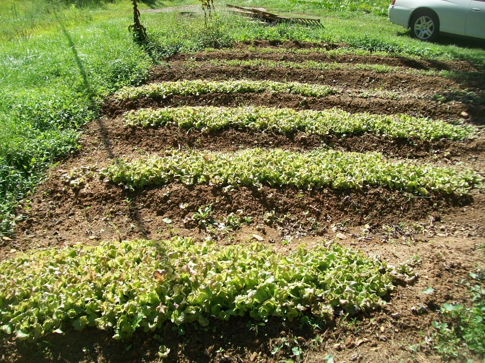 Vegetable garden rows - How To Garden For Free Comprehensive List Of My Top 20 Gardening Tips