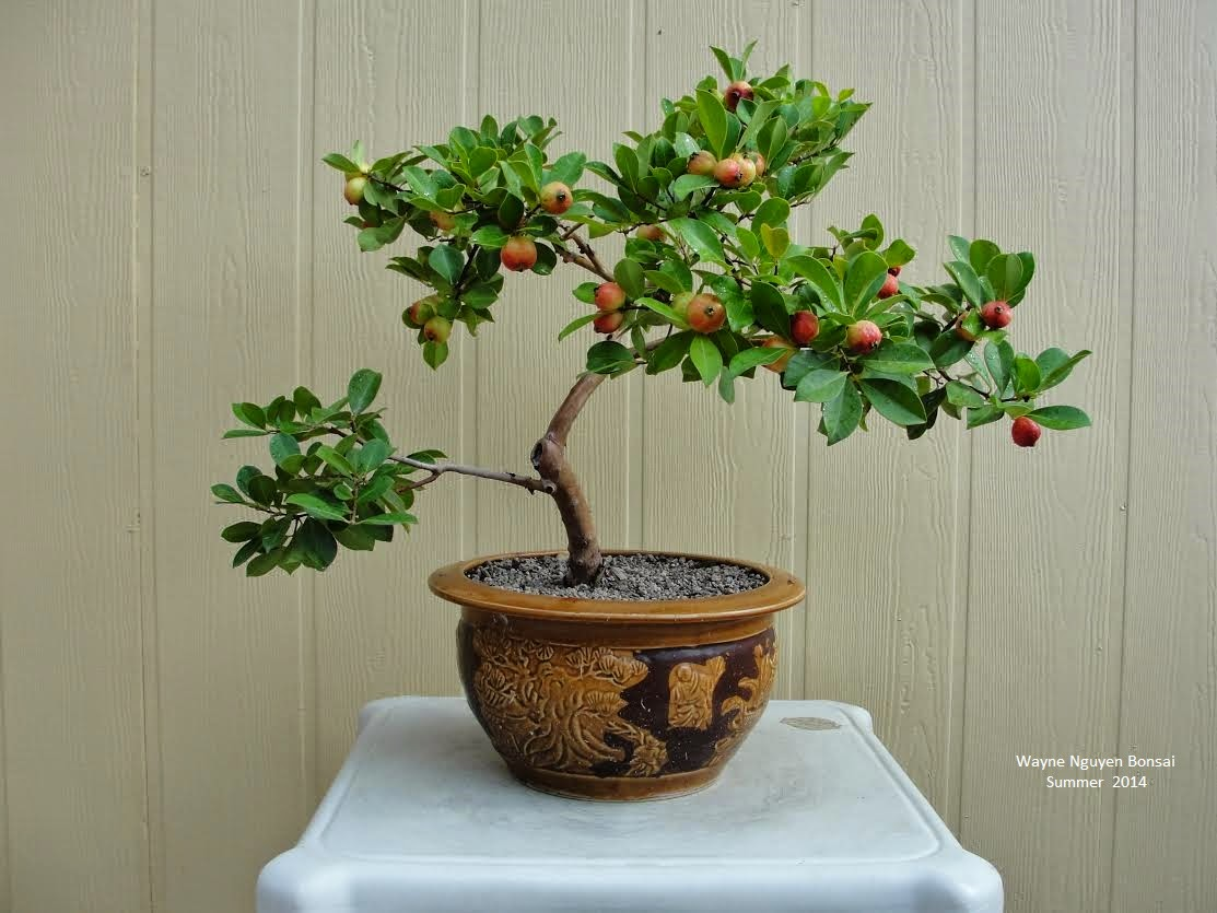 Wayne Nguyen Bonsai Red Strawberry Guava