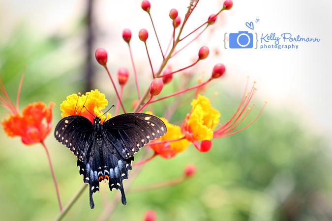 Black Swallowtail, Butterfly, RAW Artist, San Antonio Photographer, The Shops at La Cantera