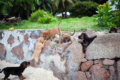 Sechs Hundewelpen an der Anse Severe auf La Digue