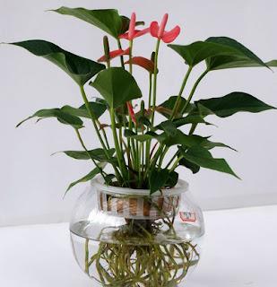 pilihan tanaman hias dalam ruangan