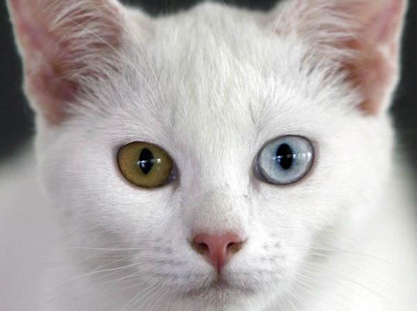 El Mundo De Los Felinos: El gato Khao Manee