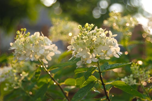 And behind the towering meadow rue are three white hydrangeas, Hydrangea paniculata 'Limelight'. It is hardy in zones 3-9 and its flowers increase in size as the bush grows larger.