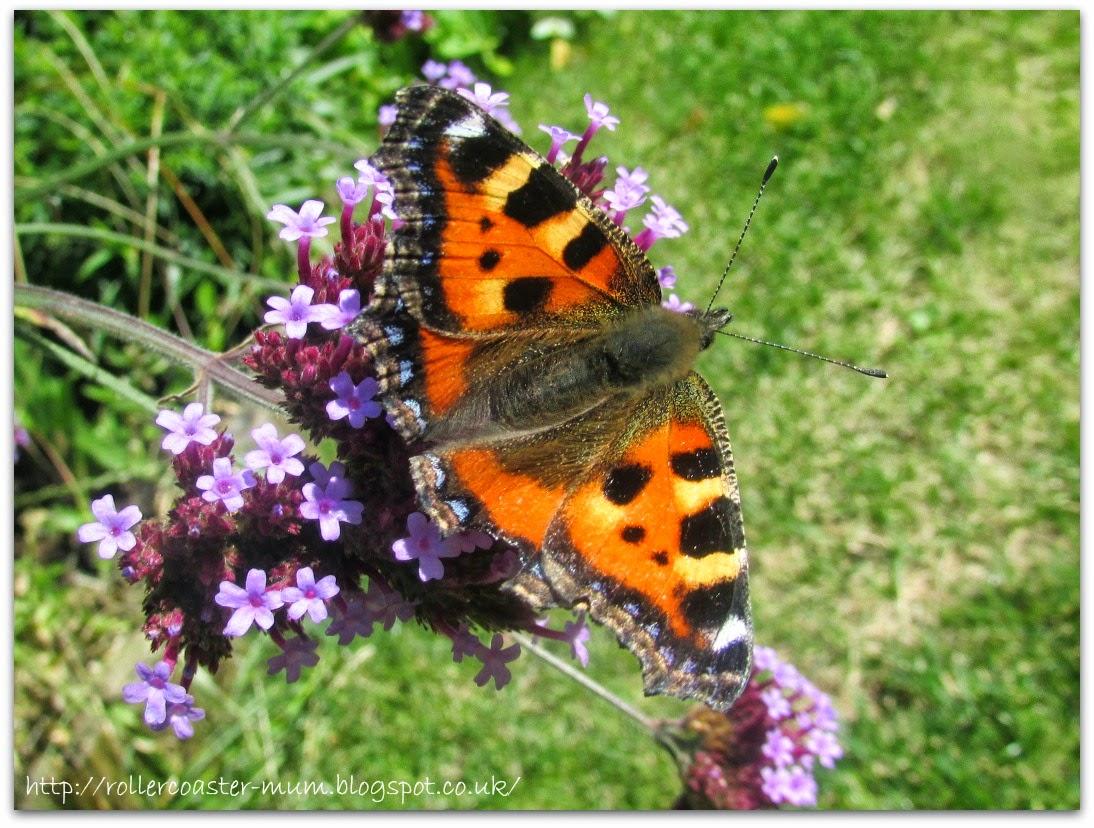 Tortoiseshell Butterfly on Verbena Bonariensis