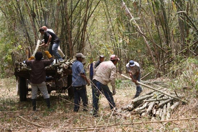 TALLOS DE BAMBÚ GUADUA EN BOSQUES NATURALES