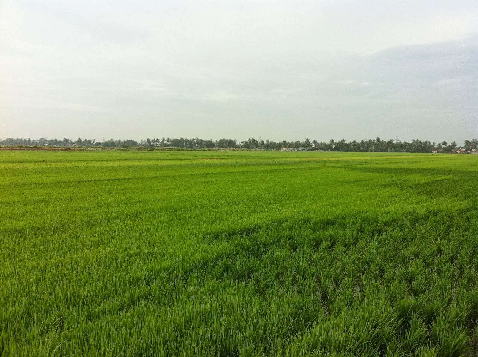 Green green paddy field