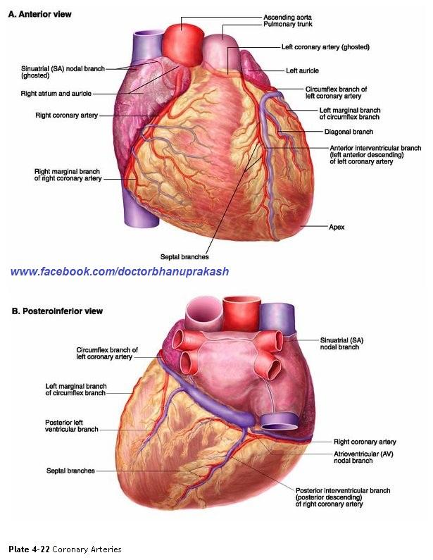Coronary Arteries Anterior Surface Of The Heart Showing Coronary