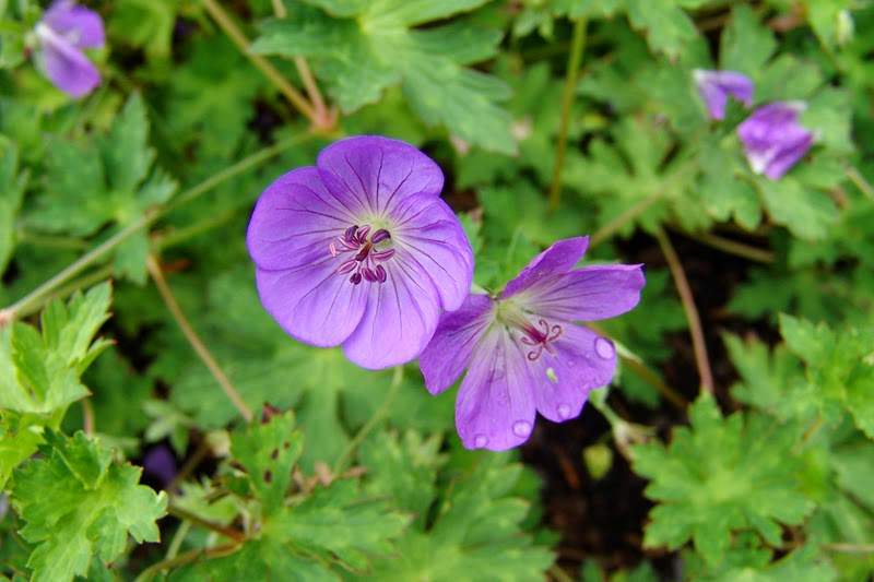 Benefits Of Cranesbill (Geranium Maculatum) For Health