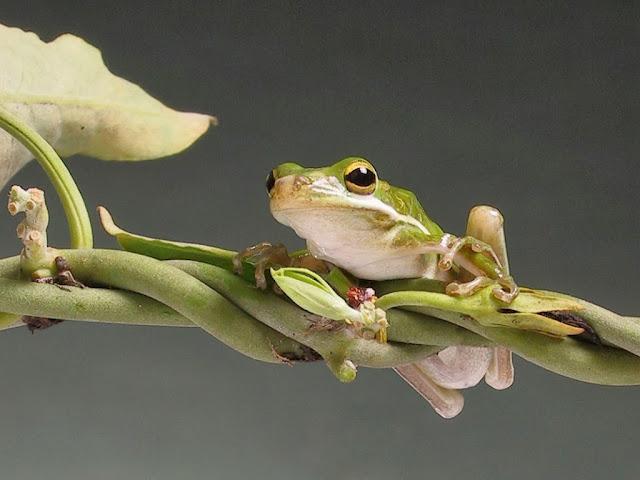 "<img src=""http://1.bp.blogspot.com/-m9ZHHSD1T40/Uq9gbx7uYaI/AAAAAAAAFwk/imzhg23nwpA/s1600/ddd.jpeg"" alt=""Frogs Animal wallpapers"" />"