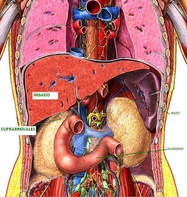 Sistemas del cuerpo humano for En k parte del cuerpo estan los rinones