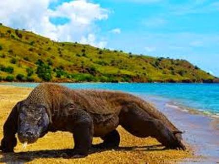 Mengenal Cara Makan Binatang Komodo