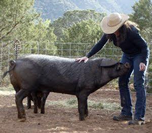 babi makan manusia