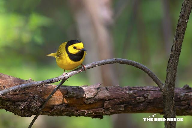 Yellow Hooded Warbler by Ashley Northcotte