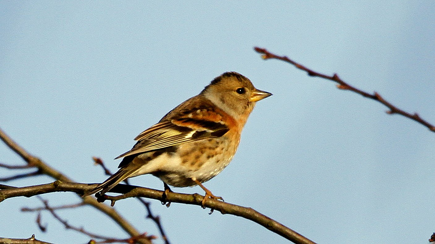 Queensbury Brambling