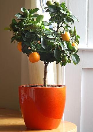 Dwarf Lemon Tree Part 9