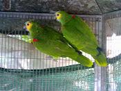 Casal Papagaios Aestivas