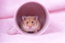 Hamster Syrian Golden