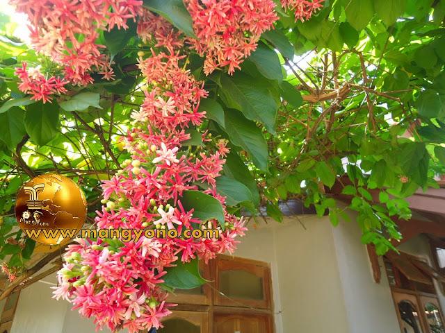 Bunga Melati Belanda sebagai peneduh Pergola, Kanopi dan Torn Air.